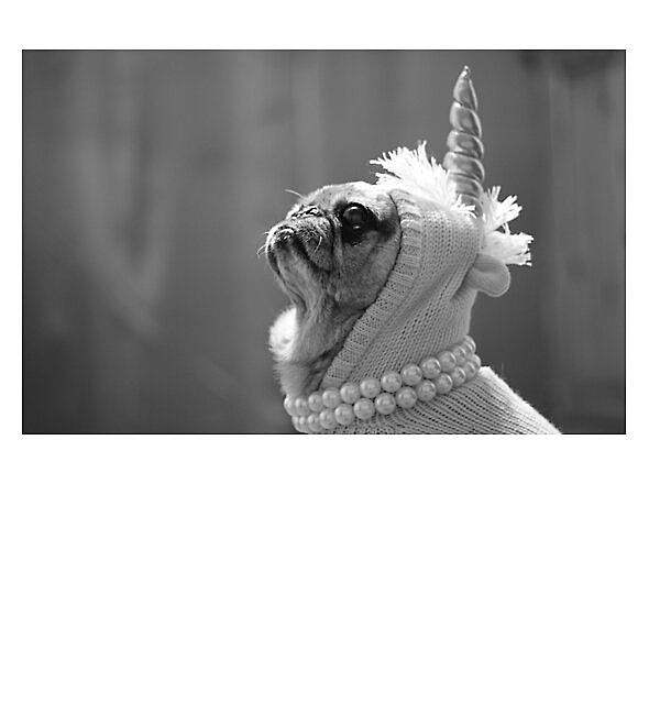 RedBubble: Bella the Ultimate Unicorn Pug